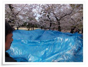 みんなでブルーシートを持って花びら落しています
